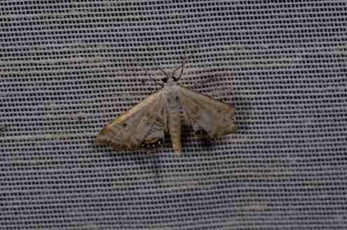 Chasse Aux Papillons - Amuré - 01-06-2012 - Cataclysta lemnata