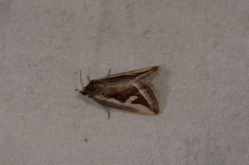 Chasse Aux Papillons - Amuré - 01-06-2012 - Deltote uncula