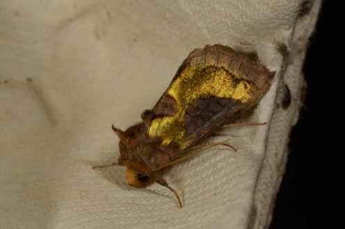 Chasse Aux Papillons - Amuré - 01-06-2012 - Diachrysia chrysitis-3
