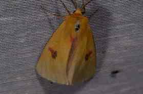 Chasse Aux Papillons - Amuré - 01-06-2012 - Diacrisia sannio