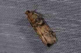 Chasse Aux Papillons - Amuré - 01-06-2012 - Euzophera pinguis