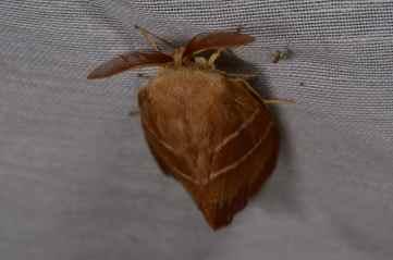 Chasse Aux Papillons - Amuré - 01-06-2012 - Macrothylacia rubi-2
