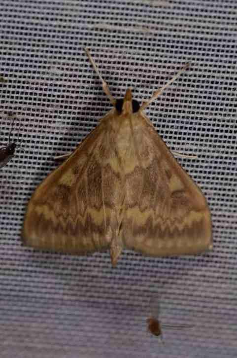 Chasse Aux Papillons - Amuré - 01-06-2012 - Ostrinia nubilalis