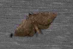 Chasse Aux Papillons - Amuré - 01-06-2012 - Philereme vetulata
