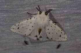 Chasse Aux Papillons - Amuré - 01-06-2012 - Spilosoma lubricipeda-1