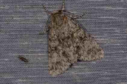 Chasse Aux Papillons - Amuré - 01-06-2012 - Subacronicta megacephala