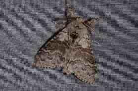 Chasse Aux Papillons - Amuré - 04-05-2014-calliteara pudibunda