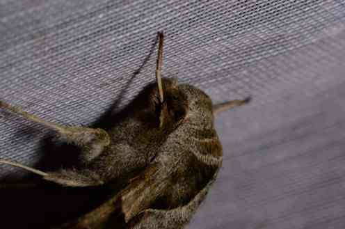 Chasse Aux Papillons - Amuré - 04-05-2014- proserpinus proserpina-1