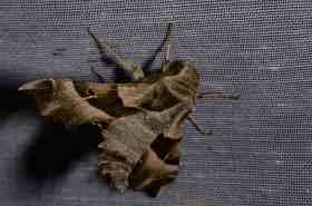 Chasse Aux Papillons - Amuré - 04-05-2014- proserpinus proserpina-4