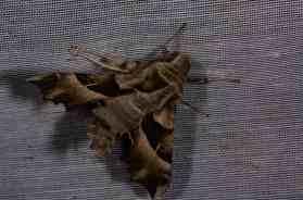 Chasse Aux Papillons - Amuré - 04-05-2014- proserpinus proserpina-5