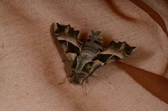 Chasse Aux Papillons - Amuré - 04-05-2014- proserpinus proserpina-7