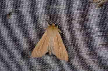 Chasse Aux Papillons - Amuré - 04-09-2014-Mythimna pallens