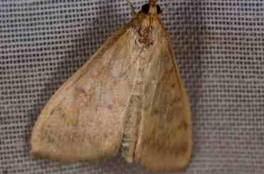 Chasse Aux Papillons - Amuré - 04-09-2014-Ostrinia nubilalis