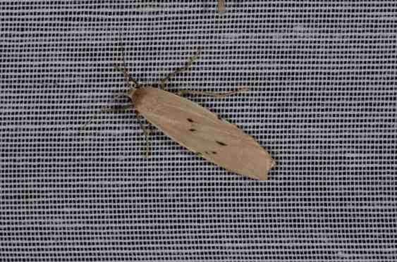 Chasse Aux Papillons - Amuré - 04-09-2014-Pelosia muscerda