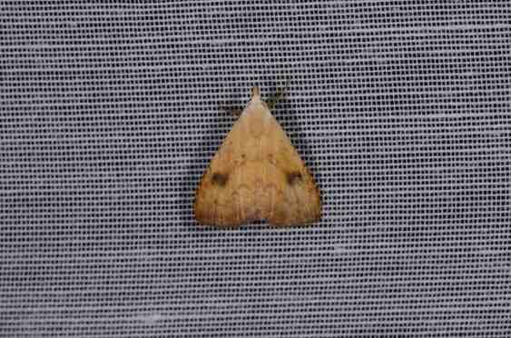 Chasse Aux Papillons - Amuré - 04-09-2014-rivula sericealis-1