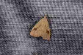 Chasse Aux Papillons - Amuré - 04-09-2014-rivula sericealis