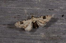 Chasse Aux Papillons - Chizé - 08-09-2012 - Eupithecia centaureata