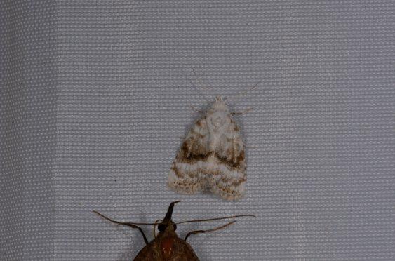 Chasse Aux Papillons - Chizé - 08-09-2012 - Meganola albula