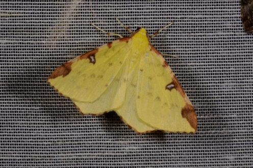 Chasse Aux Papillons - Chizé - 08-09-2012 - Opisthograptis luteolata
