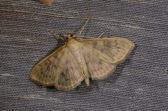 Chasse Aux Papillons - Chizé - 08-09-2012 - Pleuroptya ruralis