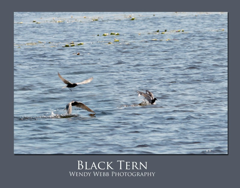 Black-Tern