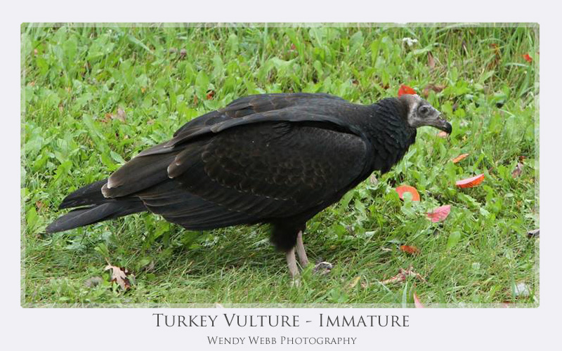 Turkey Vulture - Immature
