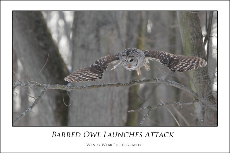 barred owl launches