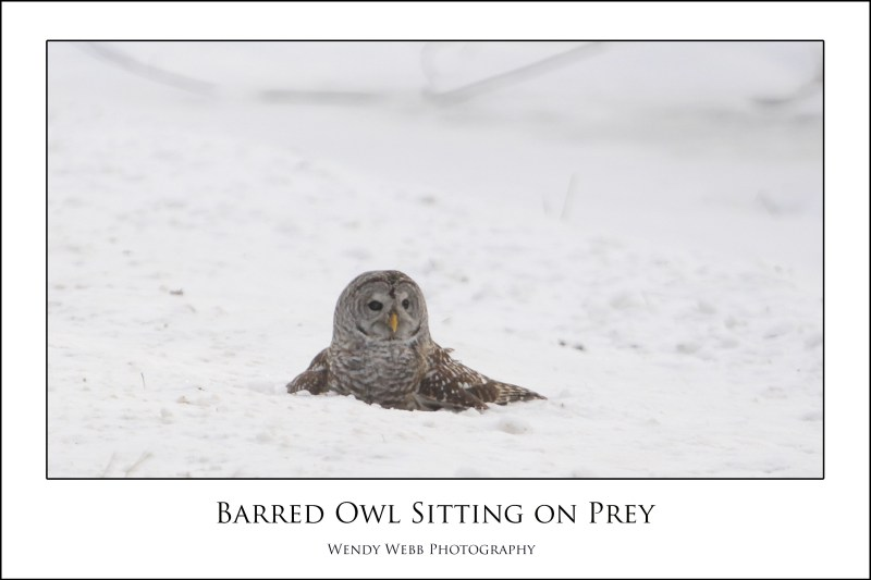 barred owl sitting on prey