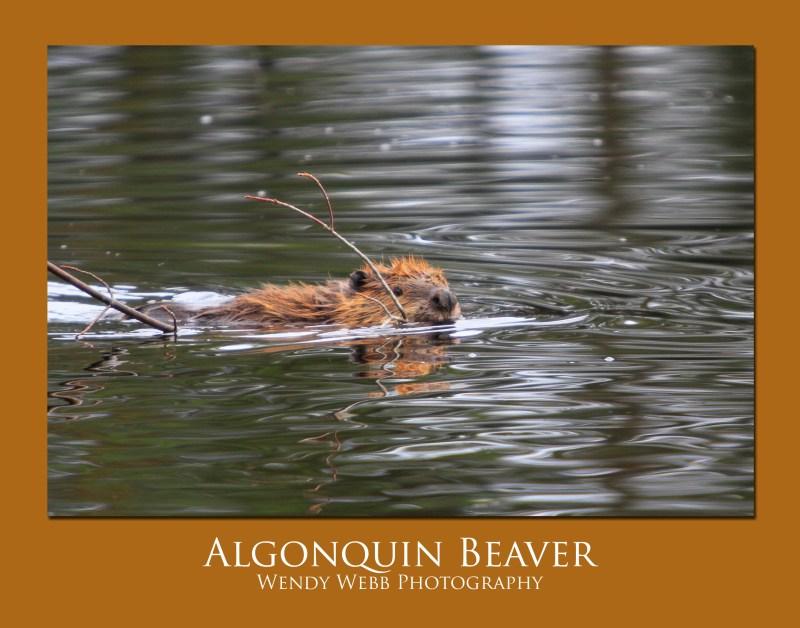 beaver 3