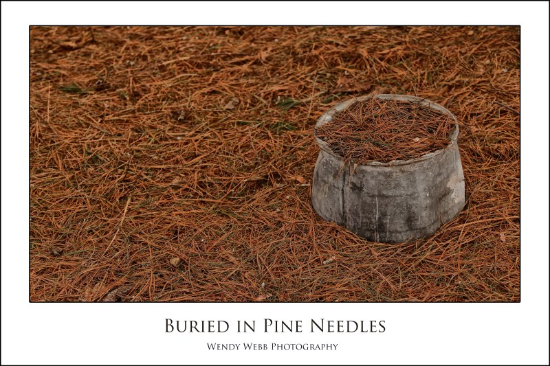 buried in pine needles