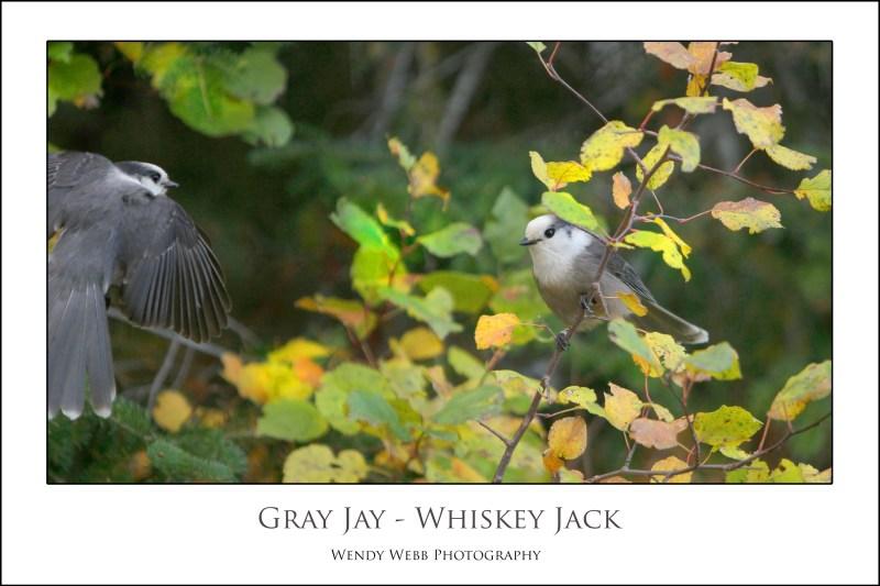 gray jays