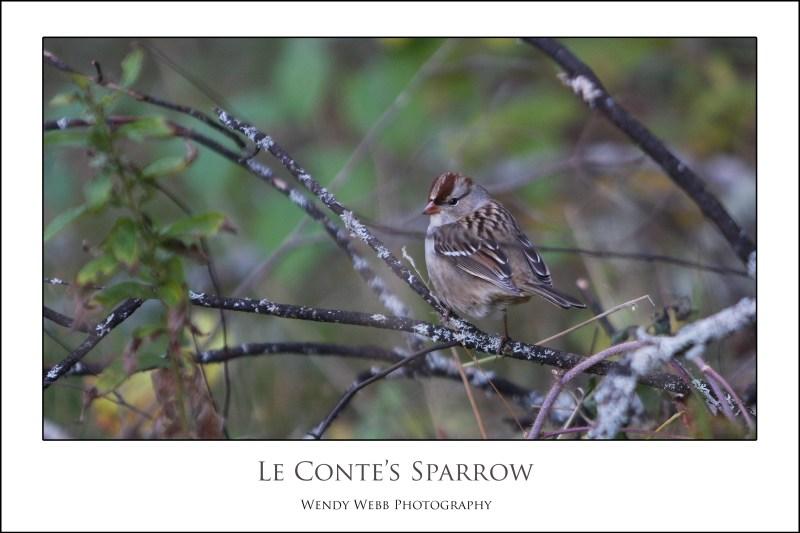 le'contes sparrow