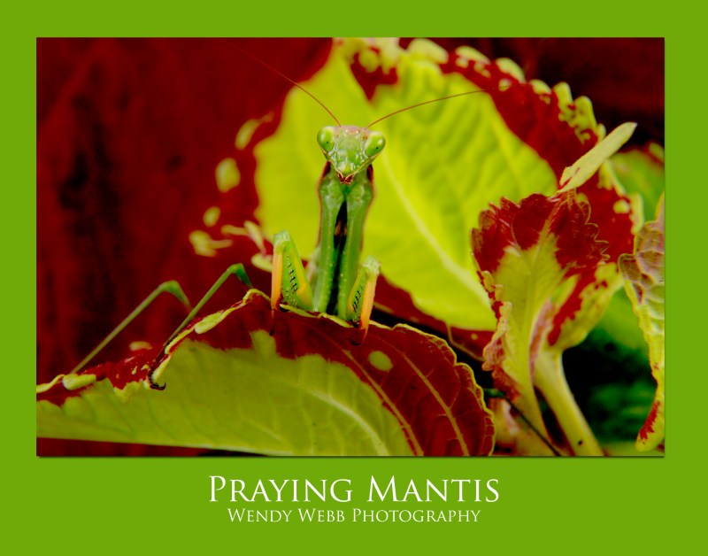 praying-mantis-2