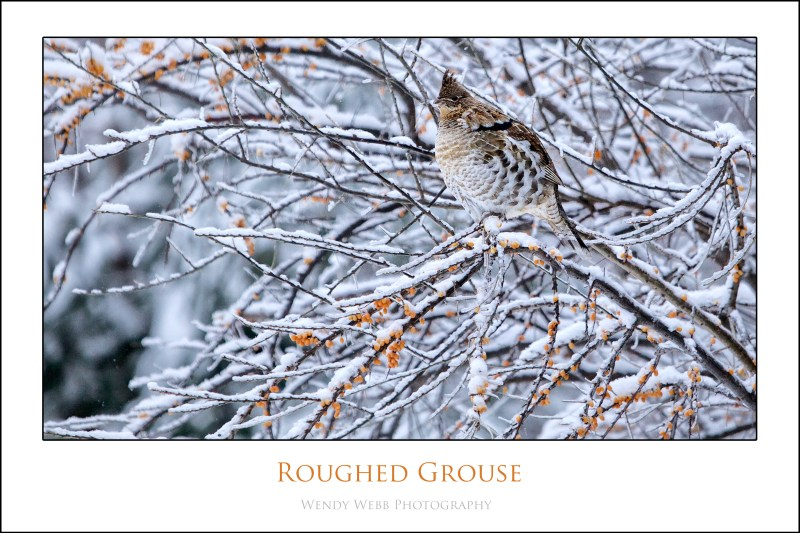 rouffed grouse 2