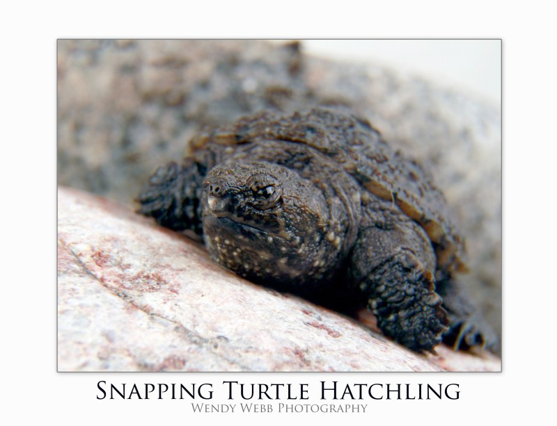 snapping turtle baby