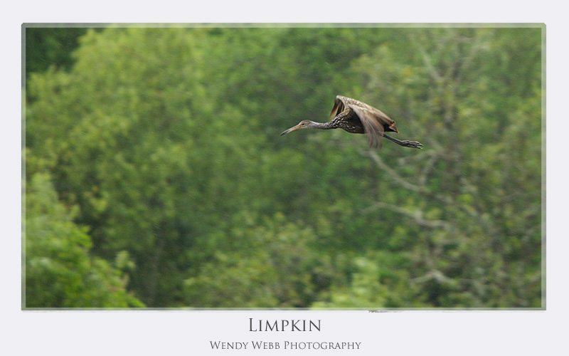 limpkin