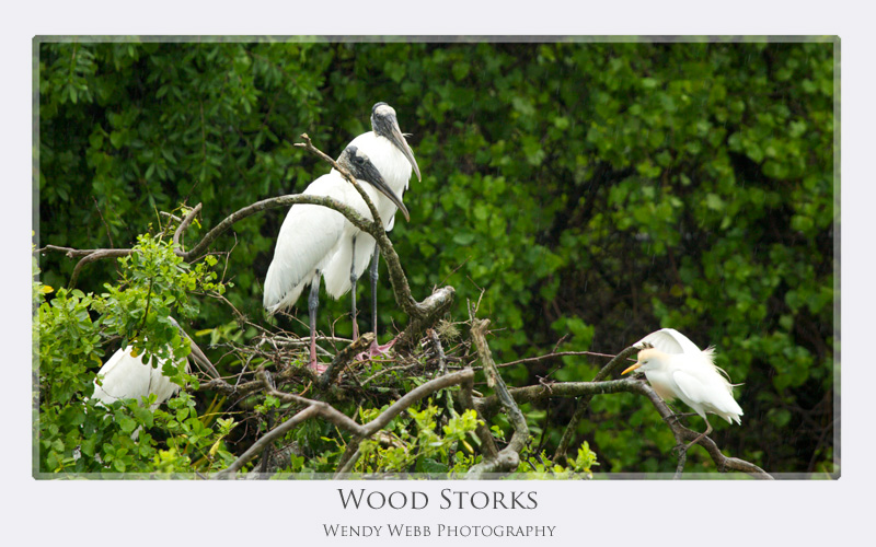 wood storks standing