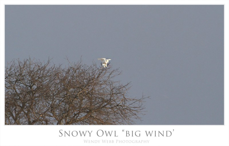 snowy owl big wind