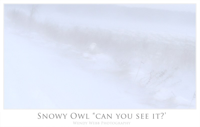 snowy owl can u see it
