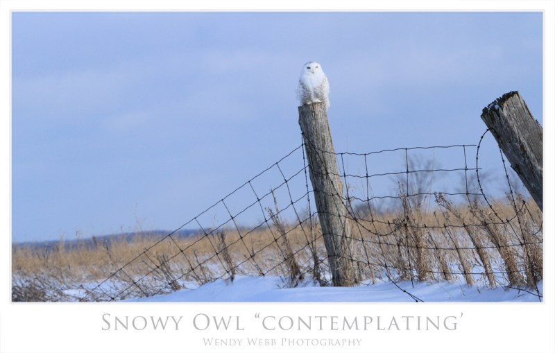 snowy owl contemplating