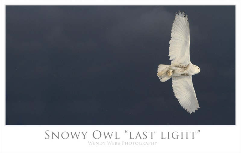 snowy owl last light