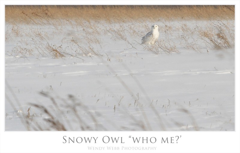 snowy owl who me