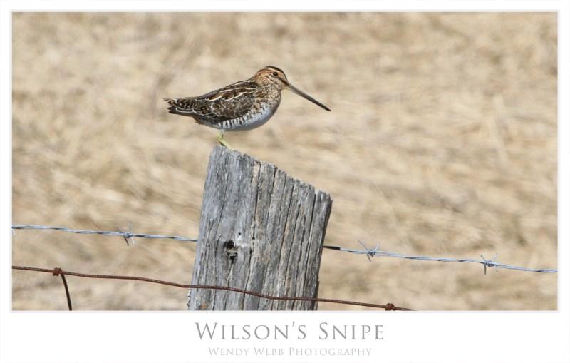 Wilson's Snipe