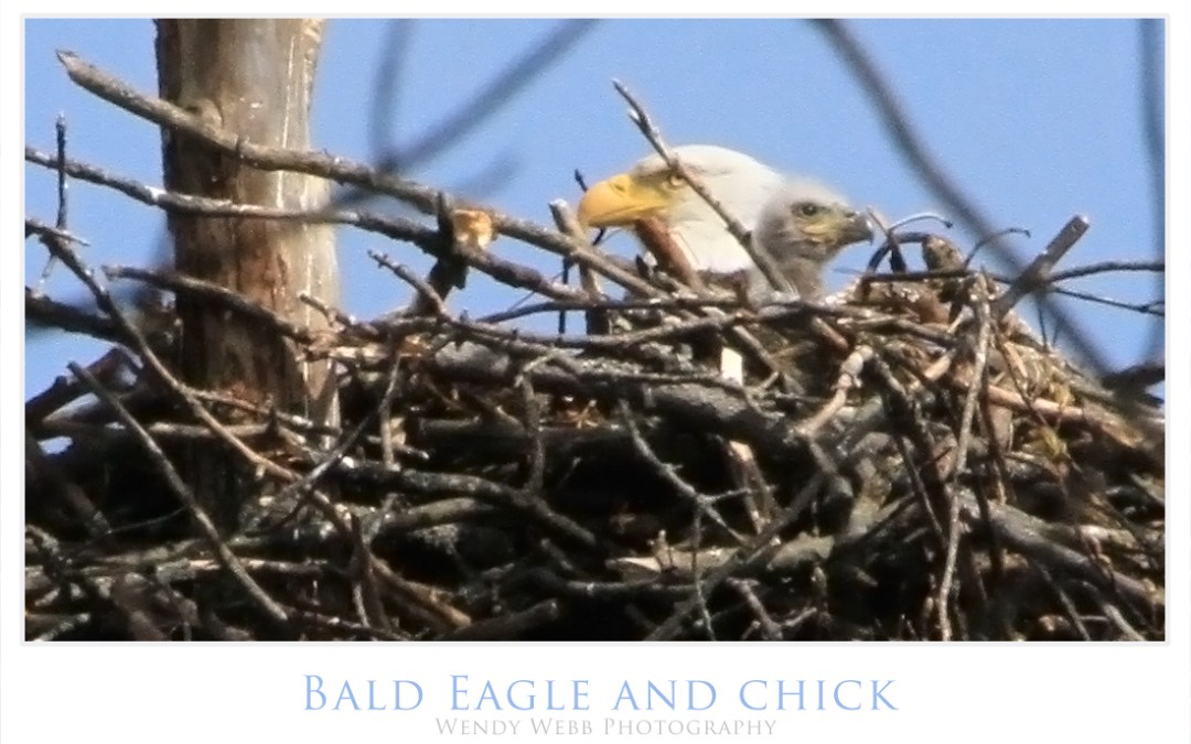 Bald Eagles with their two chicks