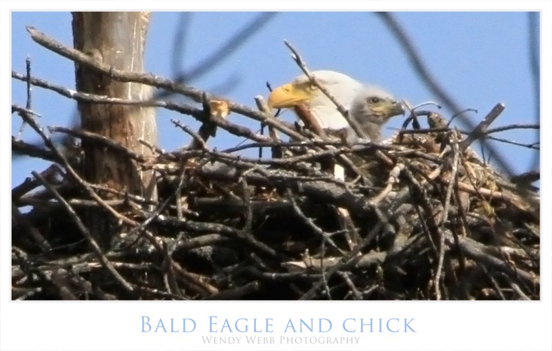 eagle, bald with chick