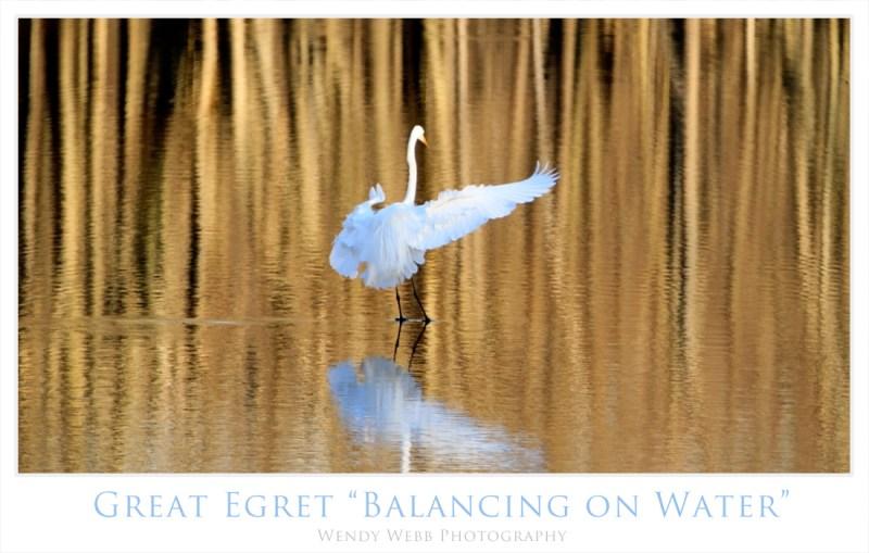 egret walking on water