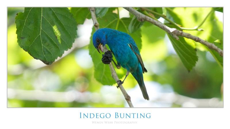 indego bunting 3
