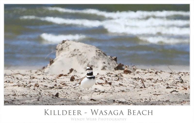 killdeer wasaga