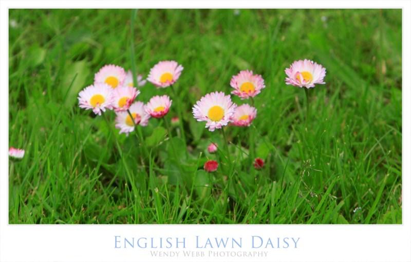 english lawn daisy 2