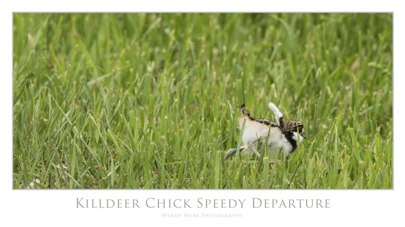 killdeer chick speedy departure